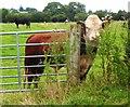 NY4761 : Bull on Hadrian's Wall Path by Anthony Parkes