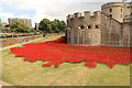 TQ3380 : Tower poppies by Richard Croft