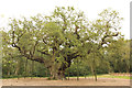 SK6267 : The Major Oak by Richard Croft