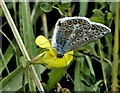SP9210 : Common Blue (Polyommatus icarus) by Rob Farrow