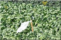 J4772 : Cabbages, Killynether, Newtownards (August 2014) by Albert Bridge