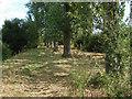 SU8871 : Poplar grove by Alan Hunt