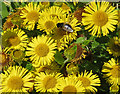 NZ8513 : Bee on Common fleabane by Pauline E