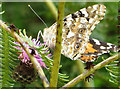 NZ8514 : Painted lady, underside by Pauline E