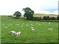 NY5545 : Field of sheep near Croglin High Hall by Oliver Dixon
