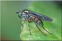 SJ3999 : The fly Dolichopus ungulatus, Waddicar, Melling by Mike Pennington