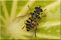 SJ3999 : The hoverfly Myathropa florea, Waddicar, Melling by Mike Pennington