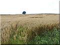 NY5943 : Field of oats near Renwick by Oliver Dixon