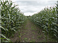 SJ6047 : Footpath through maize plantation by William Starkey