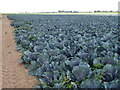 TF2831 : Cabbage crop on Surfleet Marsh by Richard Humphrey