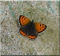 NU0815 : Small Copper Butterfly (Lycaena phlaeas) by Russel Wills