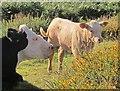 SX7379 : Cow and calf, Swallerton Gate by Derek Harper
