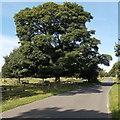 SK4103 : Dominant tree at the edge of Cadeby Lane near Market Bosworth by Jaggery