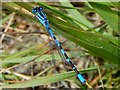 NS3778 : Common Blue Damselfly by Lairich Rig