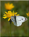 SE6675 : Small white butterfly by Pauline E