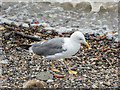 TQ3380 : Lesser Black Backed Gull on Thames Beach, London E1 by Christine Matthews