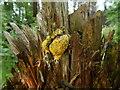 NS3978 : A slime mould - Fuligo septica by Lairich Rig