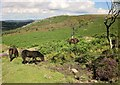 SX7577 : Dartmoor ponies near Holwell Tor by Derek Harper