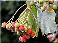 J3875 : Whitebeam berries, Belfast (September 2014) by Albert Bridge