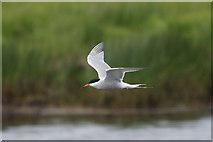 HP6312 : Common Tern (Sterna hirundo), Haroldswick pool by Mike Pennington