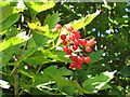 TQ0588 : Redcurrant fruit by the canal by David Hawgood