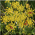 SZ0481 : Wild Parsnip (Pastinaca sativa) with Soldier Beetles by Anne Burgess