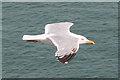 SZ0481 : Herring Gull (Larus argentatus) by Anne Burgess