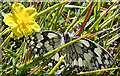 SY8280 : Marbled White Butterfly (Melanargia galathea) by Anne Burgess