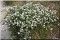 SY6970 : Sea Clover (Trifolium squamosum) by Anne Burgess