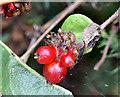 J3470 : Honeysuckle berries, Lagan Meadows, Belfast (September 2014) by Albert Bridge