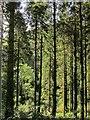 SX2959 : Conifers, Seaton valley by Derek Harper