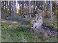 NY6887 : Uprooted Trees by Mick Garratt