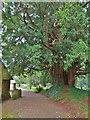 TQ0019 : Ancient Yew tree, Fittleworth parish church by Derek Voller