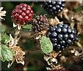 SX9169 : Shield bug on blackberry, Ridge Road by Derek Harper