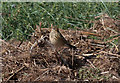 TF7445 : Well-camouflaged Meadow Pipit by Pauline E