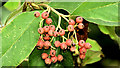 J4078 : Cotoneaster berries, Holywood (September 2014) by Albert Bridge