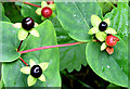 J4582 : Tutsan berries, Helen's Bay - September 2014(2) by Albert Bridge