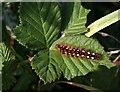 SX9066 : Caterpillar, Nightingale Park by Derek Harper