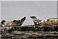 NJ4064 : Seals at Portgordon by Walter Baxter