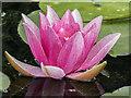 TQ0658 : Water Lilies, Royal Horticultural Society Garden, Wisley, Surrey by Christine Matthews