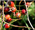 J4772 : Rose hips, Killynether, Newtownards (September 2014) by Albert Bridge