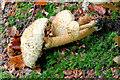 J4681 : Fungi, Crawfordsburn - September 2014(6) by Albert Bridge