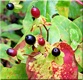 J4681 : Autumn tutsan berries and leaves, Crawfordsburn (September 2014) by Albert Bridge
