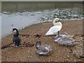 SU5302 : Swans in Hillmead Harbour, Stubbington, Hampshire by Christine Matthews