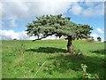 SE1249 : Pine tree, north side, Slates Lane, Middleton by Christine Johnstone