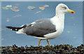 J3474 : Lesser black-backed gull, River Lagan, Belfast (September 2014) by Albert Bridge