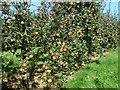 SO6869 : Cider Apples by Richard Greenwood