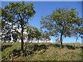 SO6869 : Damson orchard by Richard Greenwood