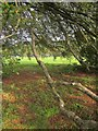 ST5675 : Beech tree, Durdham Down by Derek Harper