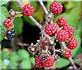 J4681 : Blackberries, Helen's Bay - September 2014(5) by Albert Bridge